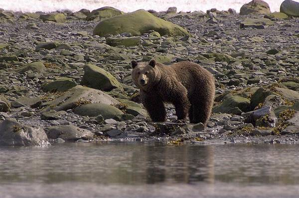 Photograph - Alaskan Brown Bear Dining On Mollusks by NaturesPix