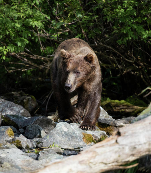 Photograph - Alaskan Brown Bear by Gloria Anderson