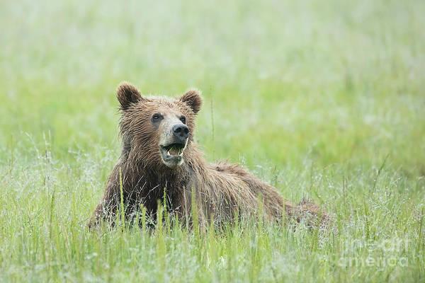 Dancing Bears Photograph - Alaskan Brown Bear Relaxing by Linda D Lester
