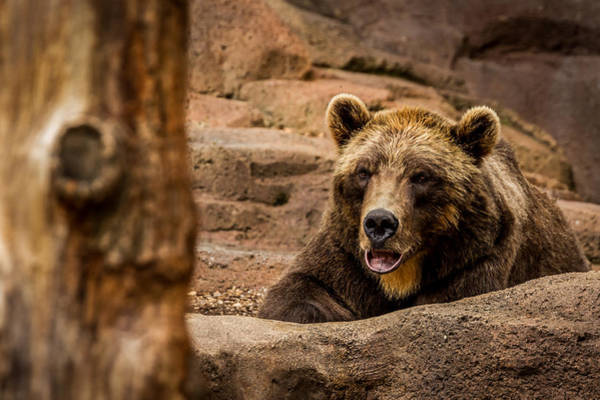 Photograph - Alaskan Brown Bear by Ron Pate