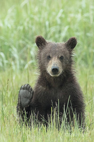 Dancing Bears Photograph - Alaskan Brown Bear Saying Hello With It's Paw by Linda D Lester