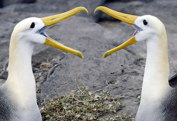Waved Albatross Photograph - Albatross Courtship by Max Waugh