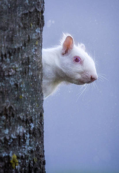 Photograph - Albino Squirrel by Rikk Flohr