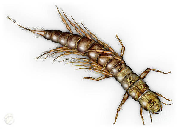 Painting - Alderfly Sialis Lutaria Larva Nymph -  Sialis De La Vase - Mudde by Urft Valley Art