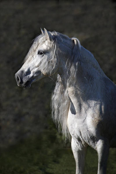 Andalusian Stallion Wall Art - Photograph - Alejandro by Wes and Dotty Weber