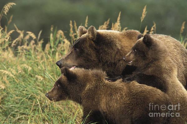 Alert Bear Family Art Print by Tim Grams