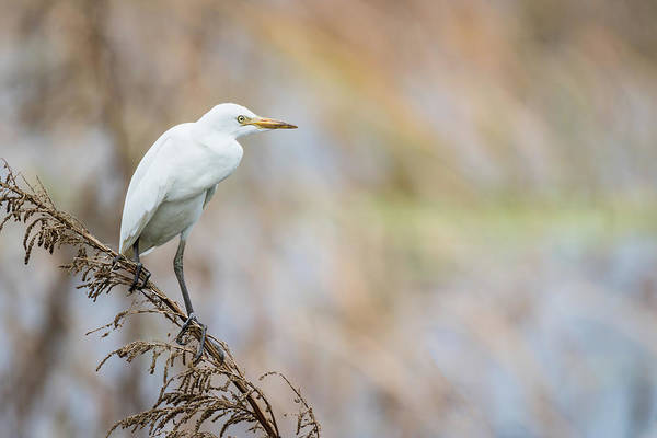 Photograph - Alert Egret by Dawn Currie