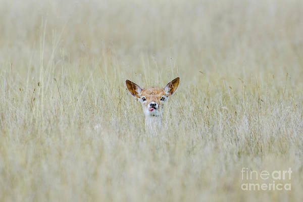 Alert Fallow Deer Fawn - Dama Dama - Laying Long In The Long Grass Art Print