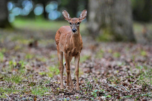 Photograph - Alert Fawn Deer In Shiloh National Military Park Tennessee by WildBird Photographs