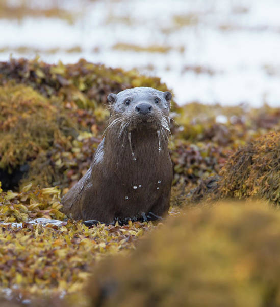 Photograph - Alert Female Otter by Peter Walkden