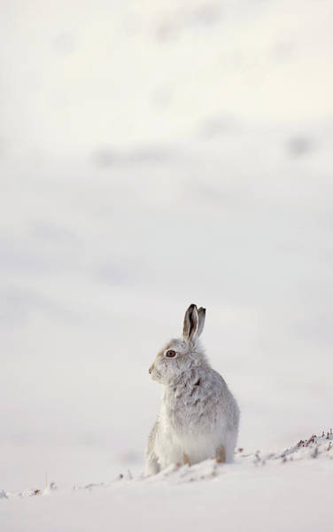 Photograph - Alert Mountain Hare by Peter Walkden