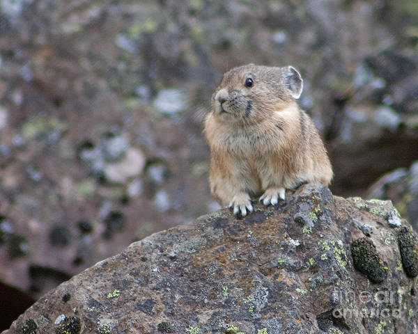 Photograph - Alert Pika by Katie LaSalle-Lowery