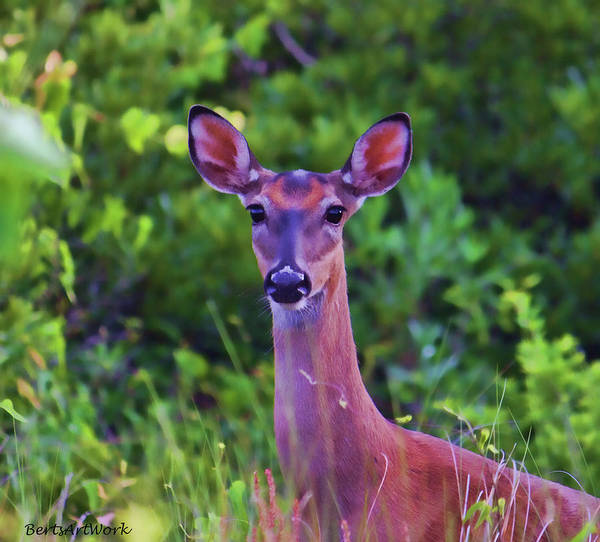 Photograph - Alert Deer by Roberta Byram