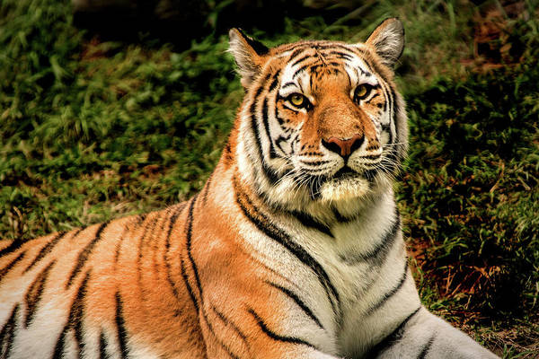 Photograph - Alert Tiger by Don Johnson