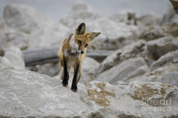Photograph - Vixen On Watch by Andrea Silies