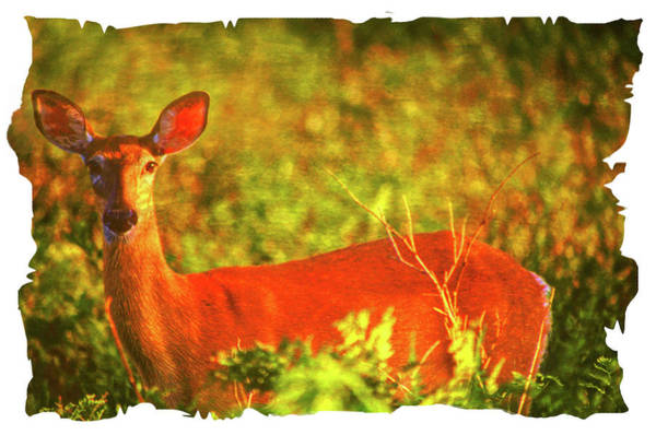 Photograph - Alert White Tailed Doe. by Rusty R Smith