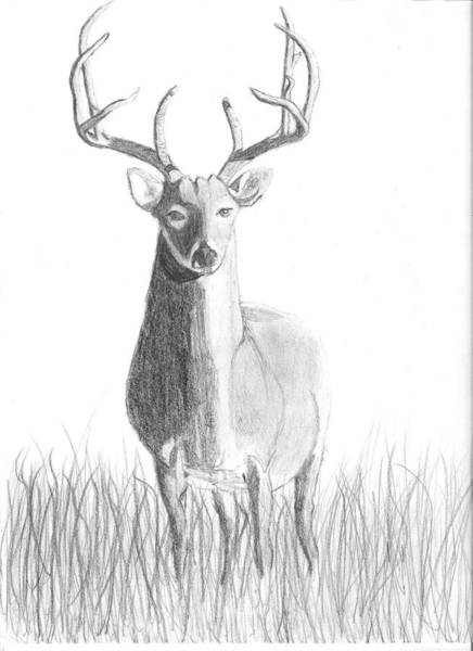 Whitetail Drawing - Alert Whitetail by Jack Simmons