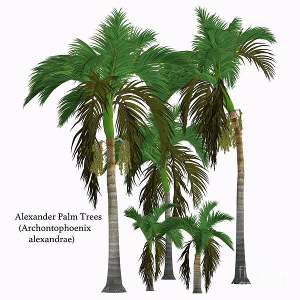 Queensland Digital Art - Alexander King Palm Tree by Corey Ford