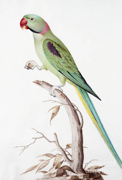 Stump Painting - Alexandrine Parakeet by Nicolas Robert