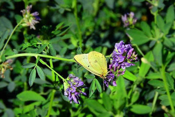 Sulfur Butterfly Wall Art - Photograph - Alfalfa Explorer by Laura Ragland