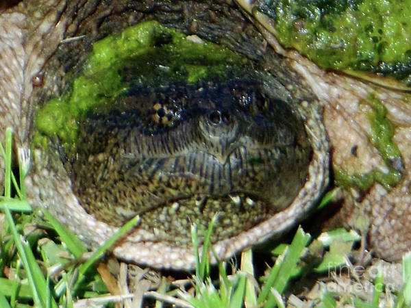 Photograph - Algae Face Common Snapper by Rockin Docks Deluxephotos