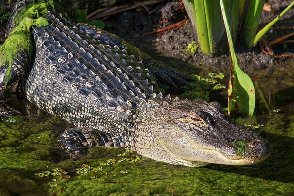 Photograph - Algae Gator 2 by Arthur Dodd