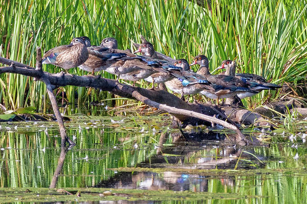Photograph - All My Ducks In A Row by Bill Wakeley