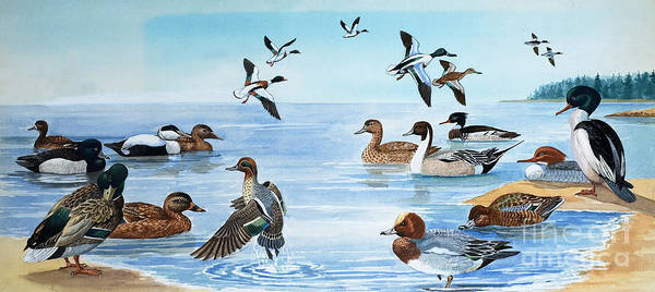 English Coast Wall Art - Painting - All Sorts Of Ducks by English School