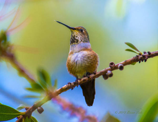 Photograph - Allen's Hummingbird On Bottlebrush by Brian Tada