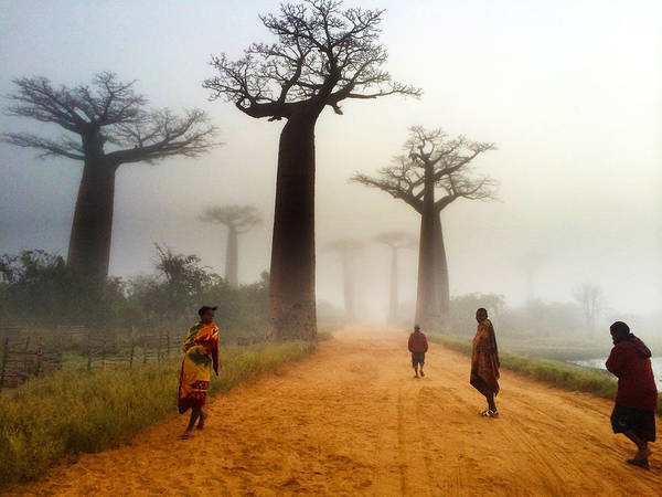 Photograph - Alley Of The Baobab by Matt Cohen