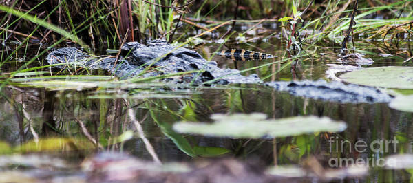 Photograph - Alligator And Hatchling-2 by Steve Somerville