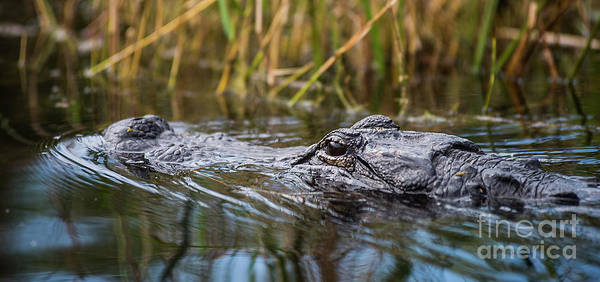 Photograph - Alligator Closeup-2-0600 by Steve Somerville