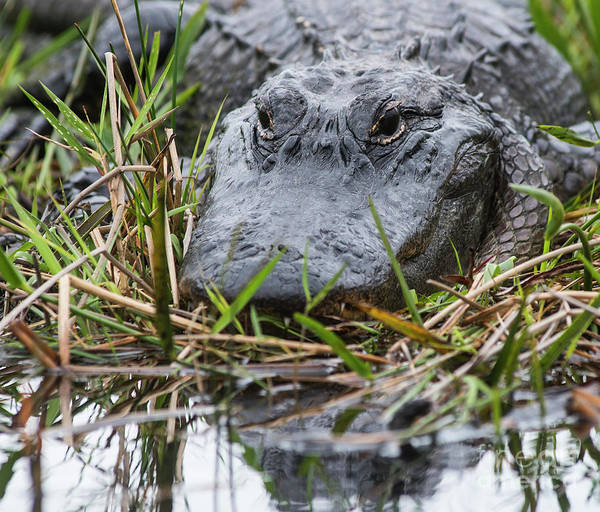 Photograph - Alligator Closeup 0642a by Steve Somerville