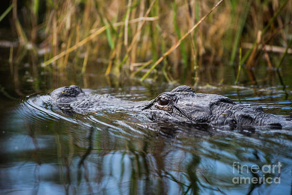 Photograph - Alligator Closeup1-0600 by Steve Somerville