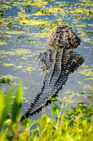 Photograph - Alligator by David Hart