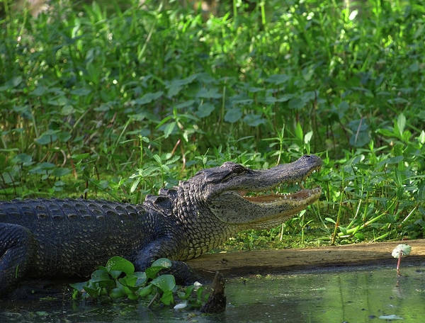 Photograph - Alligator In A Green Bayou In Louisiana by Mary Capriole