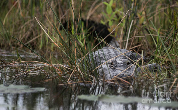 Photograph - Alligator Lurks-0620a by Steve Somerville