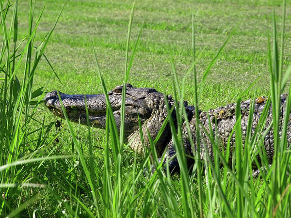 Photograph - Alligator Profile by Mary Capriole