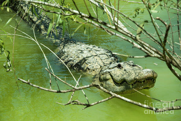 American Crocodile Photograph - Alligator  by Rob Hawkins