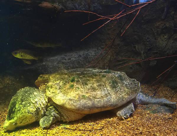 Digital Art - Alligator Snapping Turtle by Chris Flees
