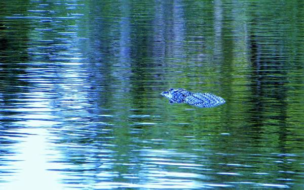 Wildlife Wall Art - Photograph - Alligator Way by Ric Schafer