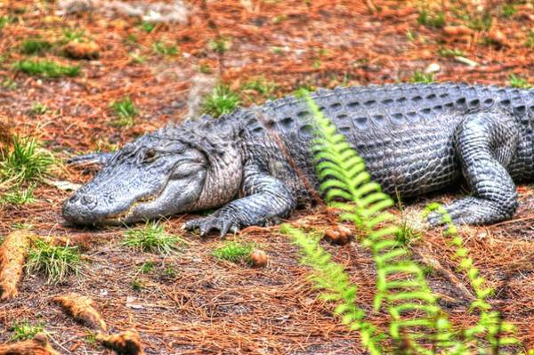 Photograph - Alligator03 by Donald Williams
