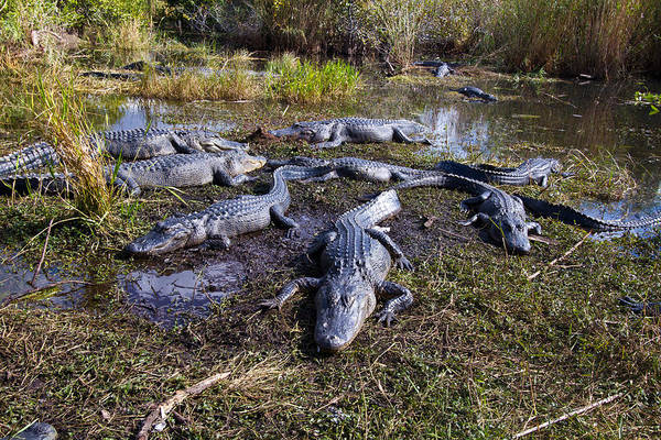 Alligators 280 Art Print