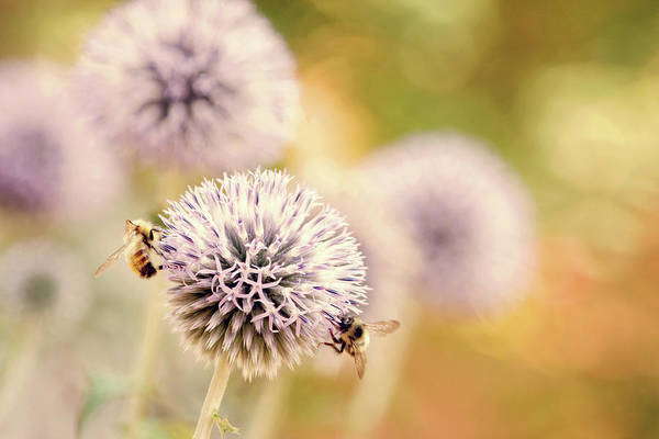 Photograph - Allium And Bees by Peggy Collins