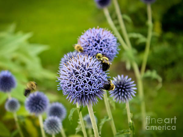 Wall Art - Photograph - Allium And The Pollinators by Colleen Kammerer