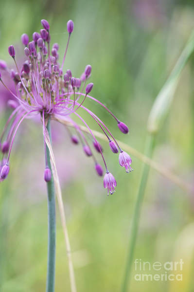Wall Art - Photograph - Allium Carinatum Flower by Tim Gainey