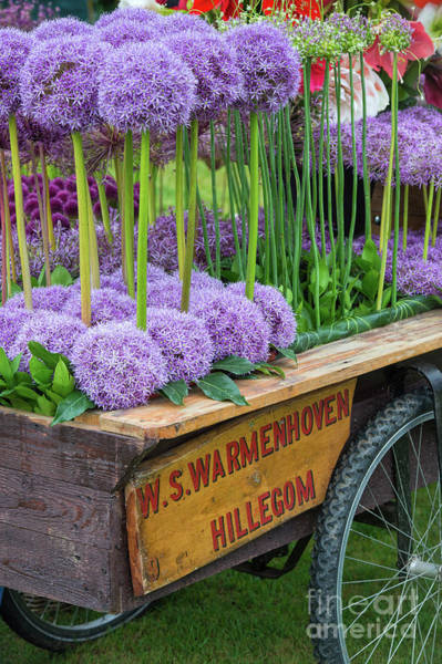 Wall Art - Photograph - Allium Cart by Tim Gainey