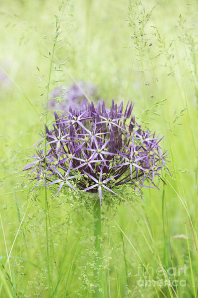 Wall Art - Photograph - Allium Christophii by Tim Gainey