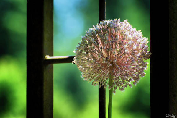 Photograph - Allium Flower by Dee Browning