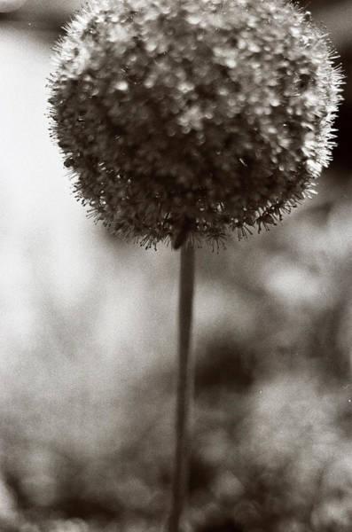 Wall Art - Photograph - Allium -flowering Garlic by Linnea Tober